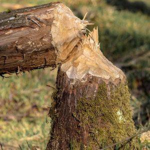 Traces de castors  © An Van Rie