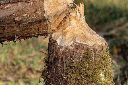 Traces de castors Le lac de Bütgenbach © An Van Rie